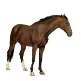 1878300-caballo-delante-de-un-fondo-blanco